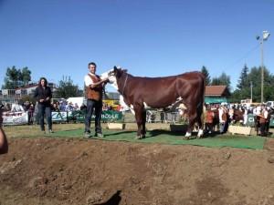 La présentation des vaches devant le jury et l'assistance