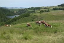 Elevage bovin sur la commune